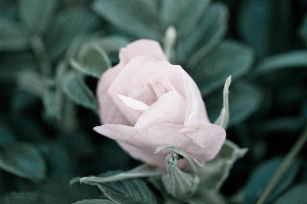 Ruusun aika – herkän rosacea-ihon hoito-opas